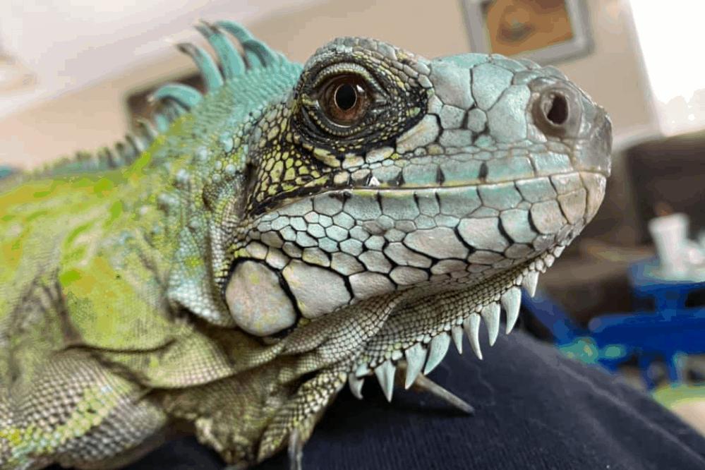 when is iguana breeding season