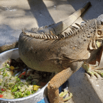 what do iguana eat in the wild