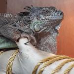 how to cut iguana nails
