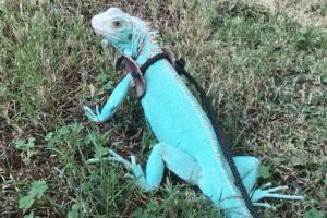 how to make a iguana leash