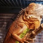 how to raise an iguana