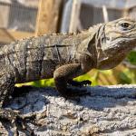 how to sex an iguana