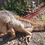 how to tame an iguana