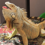 how to tell how old an iguana is