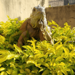 best substrate for iguanas