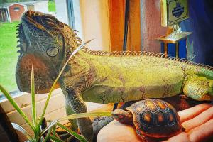 best food for iguanas