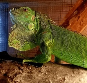 how big does a green iguana get