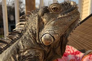 how fast can an iguana run