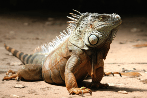 how to care for an iguana