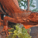 how big does a red iguana get