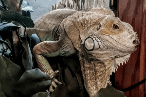what does it mean when your iguana licks you