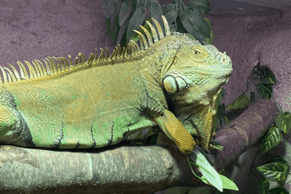 what sound does an iguana make