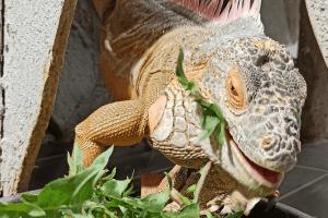 what eats an iguana