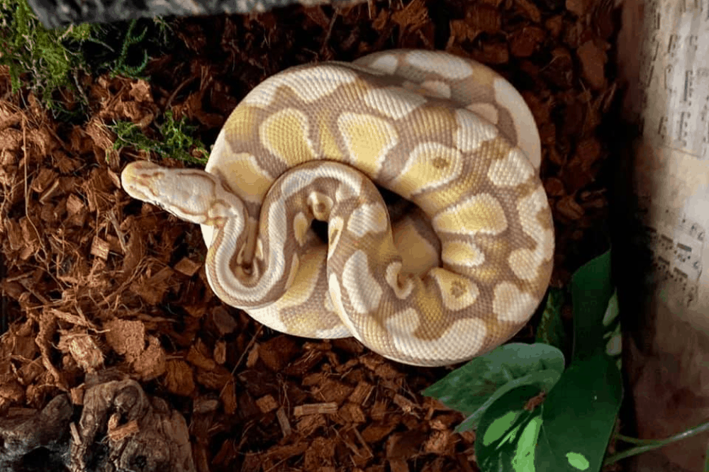 How To Tell If A Ball Python Is Pregnant