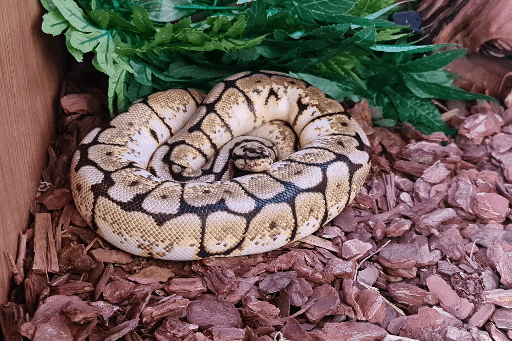 what to do if your ball python wont eat