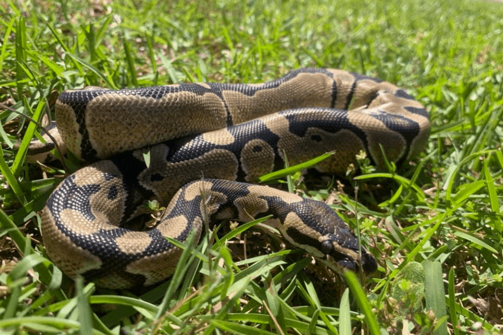 what does a ball python bite feel like