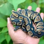 when is ball python breeding season