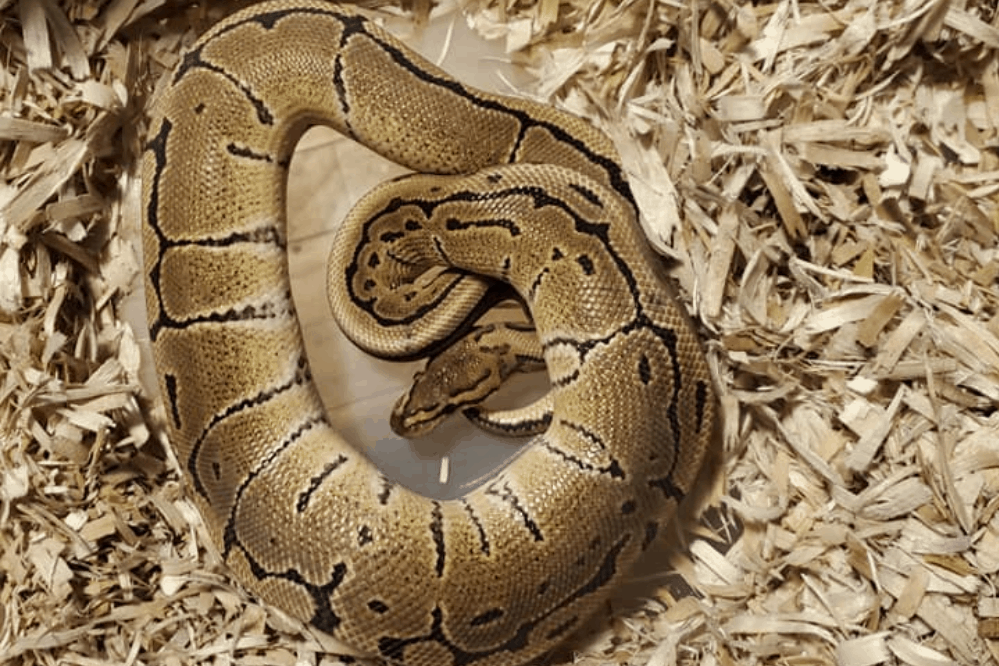 how to set up a ball python cage