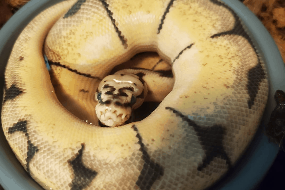 what to feed baby ball python