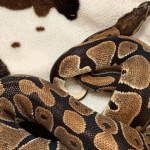 what size mouse to feed ball python