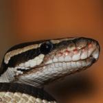 best heat lamp for ball python