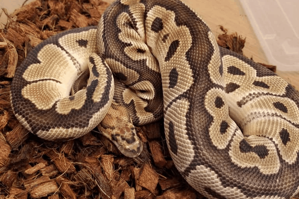how to keep humidity up in ball python tank
