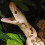 how many teeth does a ball python have