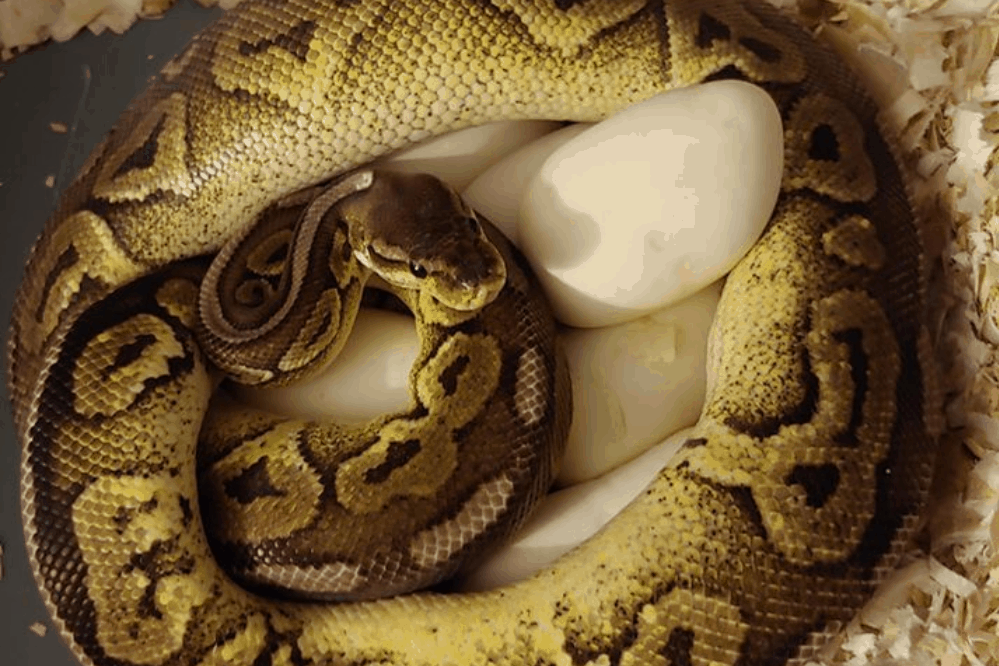 how to incubate ball python eggs