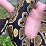 how to feed a ball python frozen mice