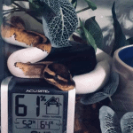 how cold can a ball python survive