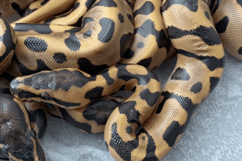 what can i feed my ball python besides mice