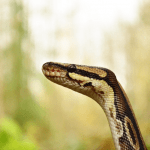 how long does a ball python live