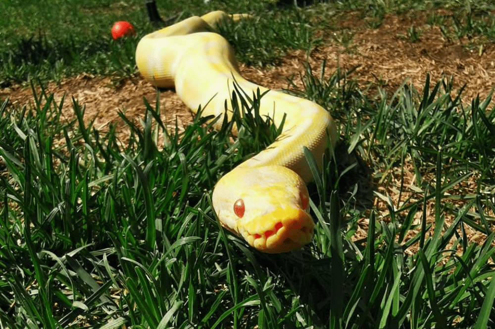 how to find a lost ball python
