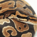 how often does a ball python shed