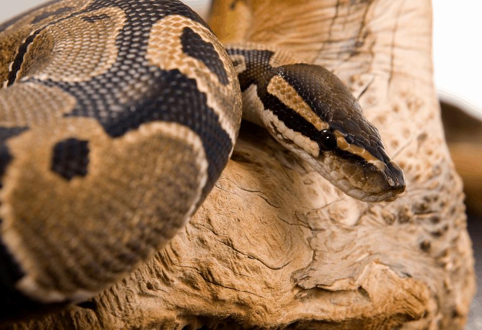 small ball python