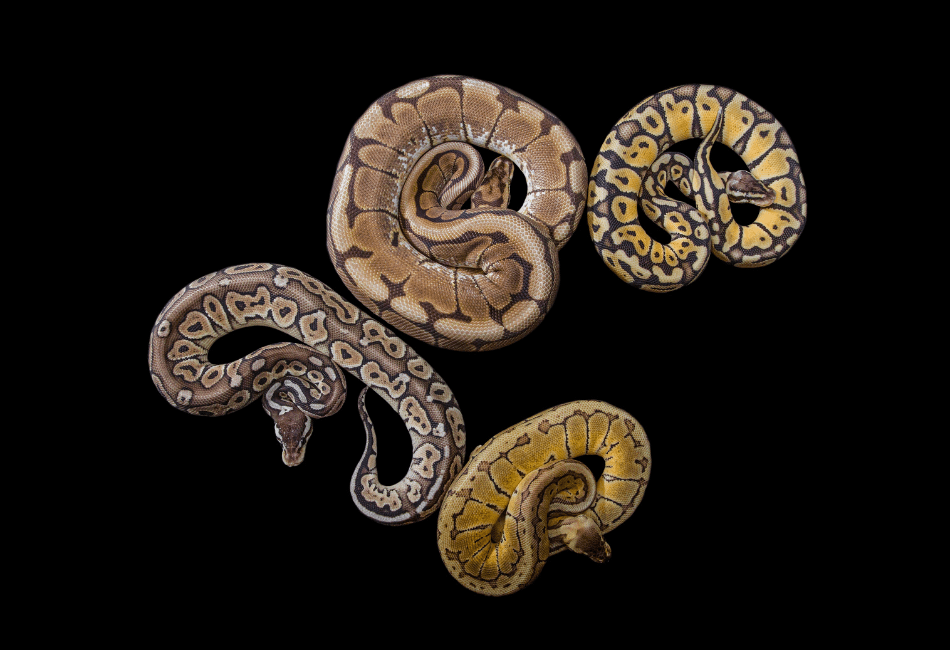 different size ball pythons