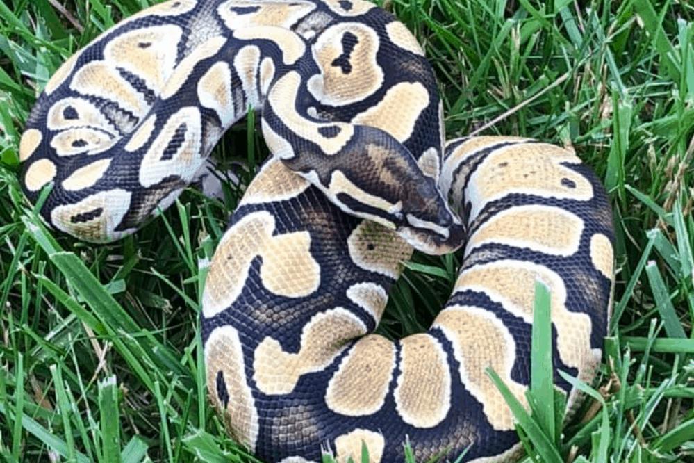 how to pop a ball python