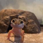 how to fatten up a leopard gecko