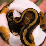how to make a piebald ball python