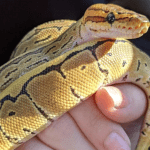 why is my ball python wheezing
