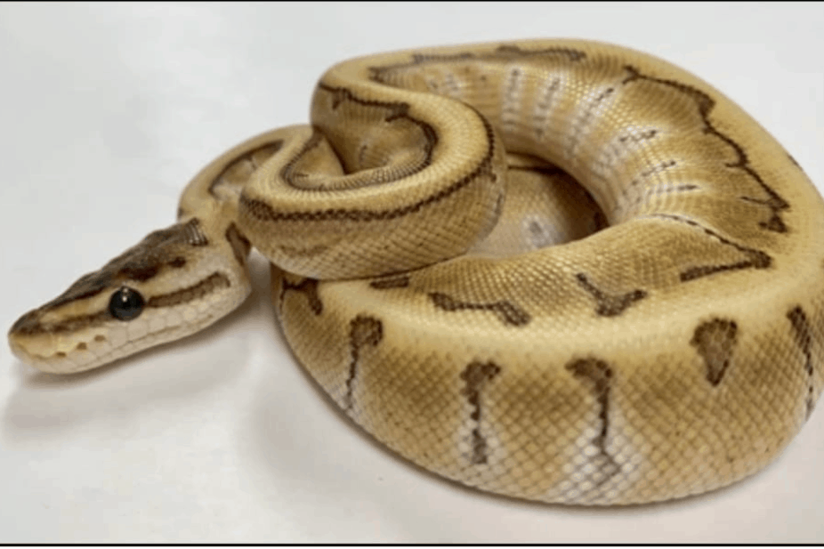 what is a woma ball python