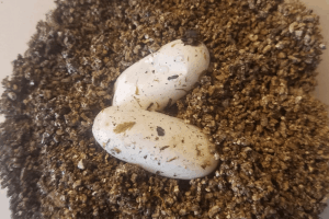 how to incubate leopard gecko eggs
