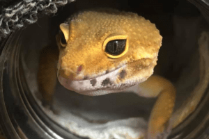 how to play with your leopard gecko