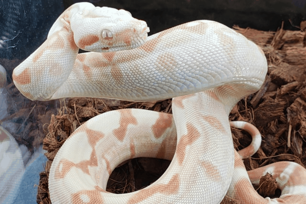 how much does it cost to feed a ball python