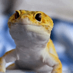 how long can a leopard gecko go without water