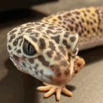 how to force feed a leopard gecko