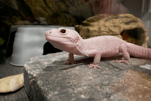 when is leopard gecko breeding season