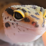 how often do you feed a leopard gecko