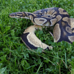 how to feed a ball python live mice