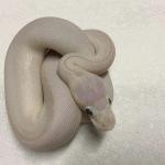 how to make a blue eyed leucistic ball python
